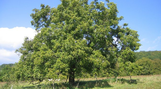 A walnut tree By Thesupermat - Own work, CC BY-SA 3.0, https://commons.wikimedia.org/w/index.php?curid=2822939