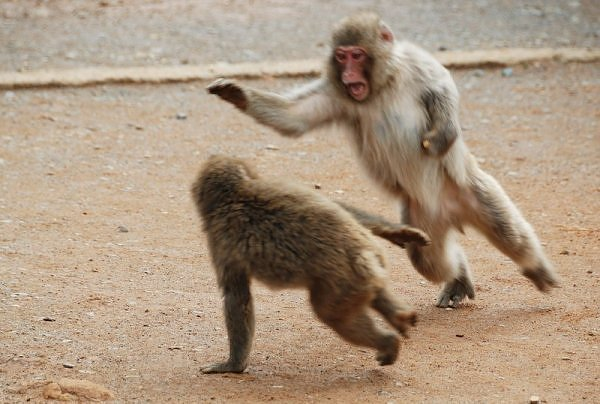 Angry Monkeys Fighting Monkey Fighting