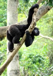 chimp_matoke_climbing